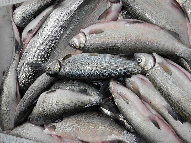 image of a pile of freshly caught fish