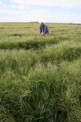 teff crop in idaho, farmer in field